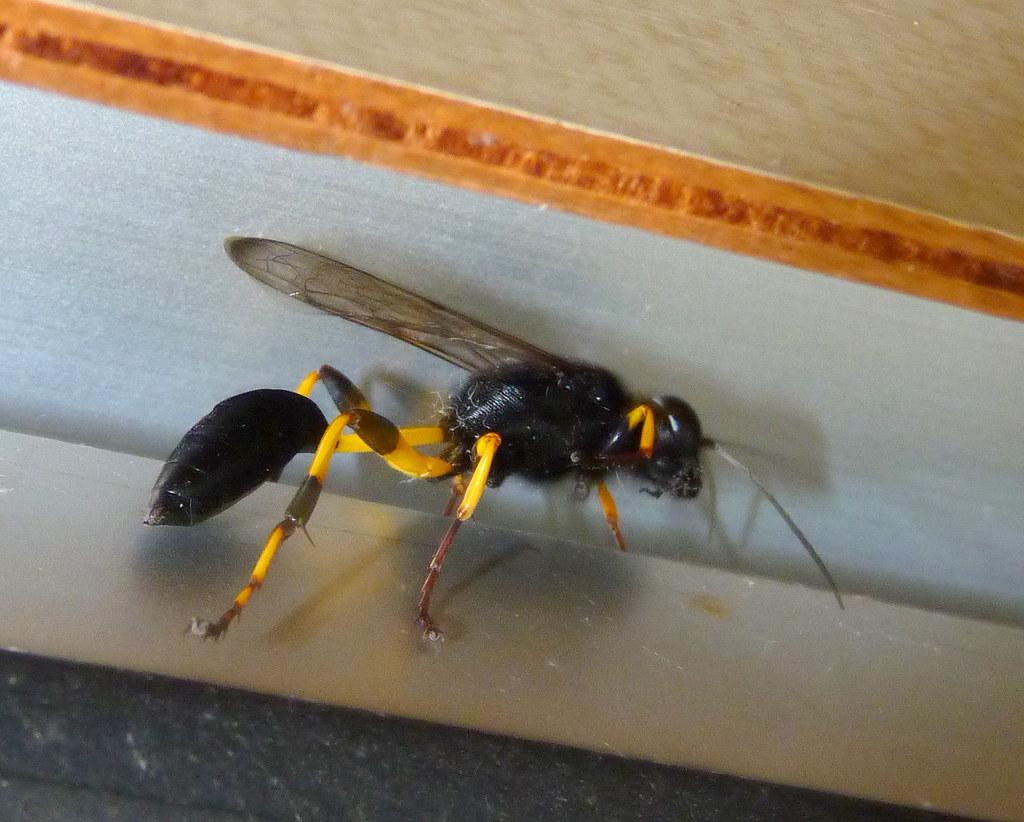 Gu pe noire taille de gu pe essaim d 39 abeilles lol - Essaim de guepe ...