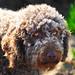 Leo - Spanish Water Dog