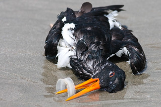 Dead Oystercatcher Killed by Plastic Waste | by Peregrine's Bird Photography