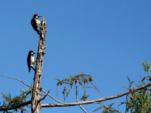 Acorn Woodpeckers 20100624 | by Kenneth Cole Schneider