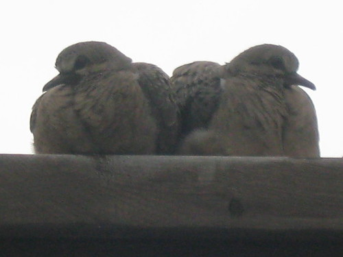 Mourning Doves Love | by NabweeklyCanada Photography