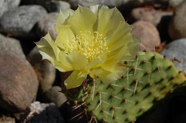 Cactus in bloom