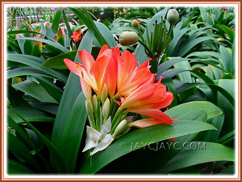 Numerous potted Clivia miniata | by jayjayc