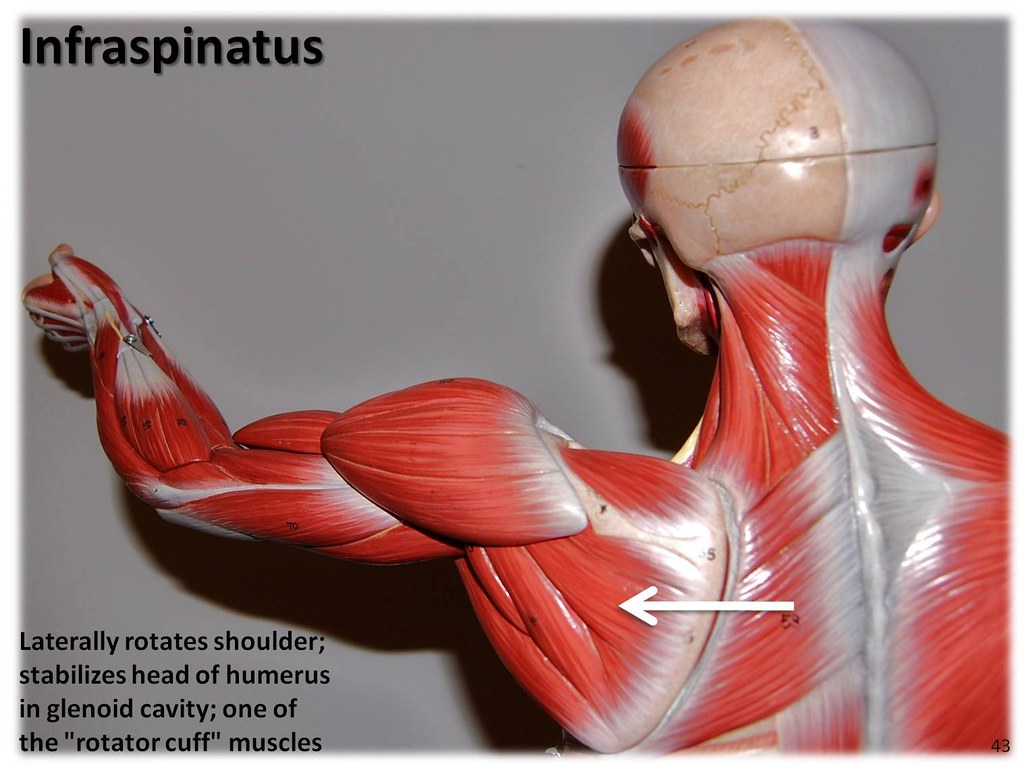 Infraspinatus - Muscles of the Upper Extremity Visual Atla ...