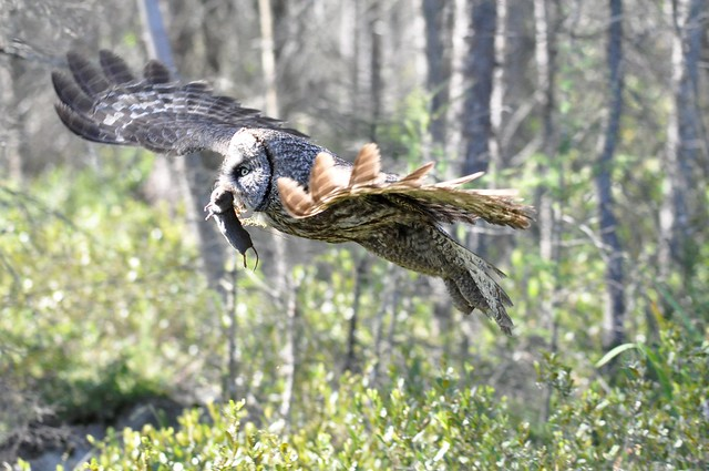 Great Gray Owl w/ Short-tailed Shrew