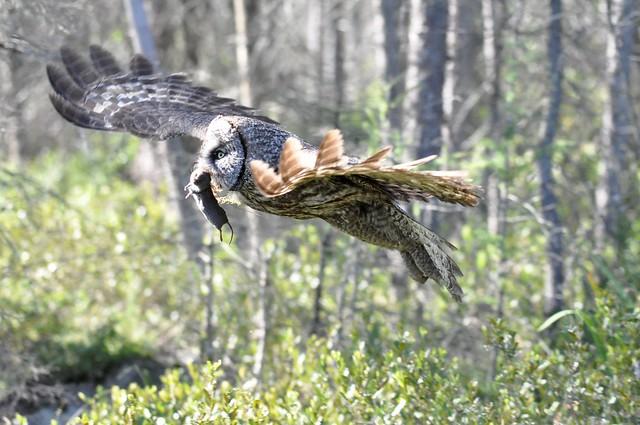Great Gray Owl w/ Short-tailed Shrew