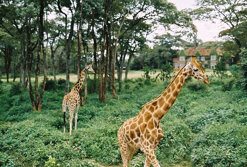 giraffes | by saviorjosh