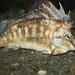 southern pigfish, Congiopodus leucopaecilus