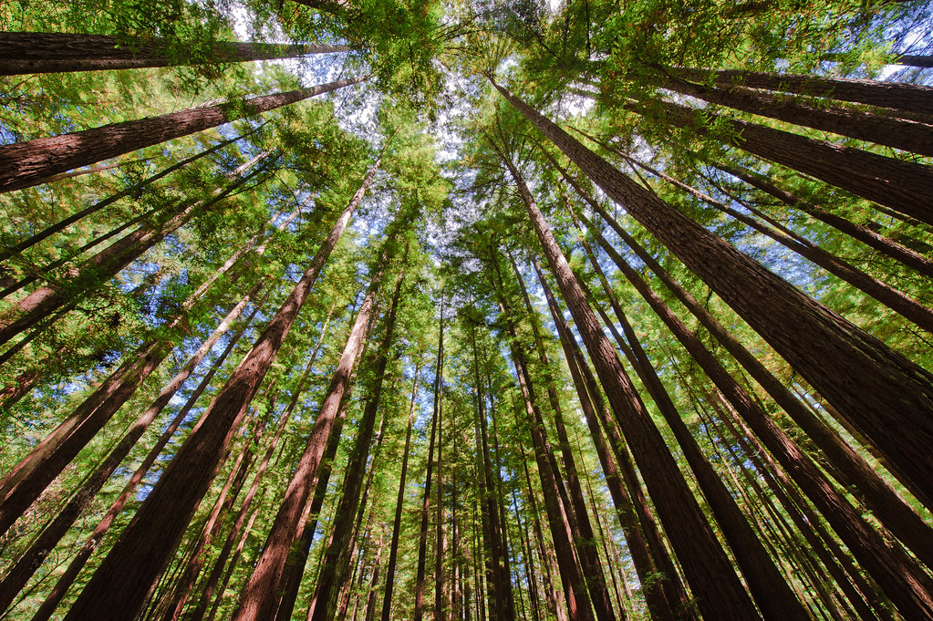 Armstrong Redwoods Looking Up At The Coast Redwood Trees