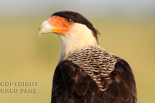 Crested Caracara | by gregpage1465