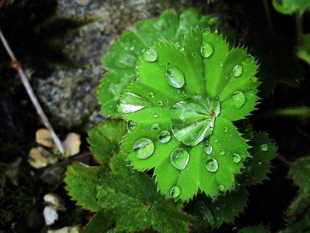 Transpiration / guttation | Lady's Mantle Alchemilla