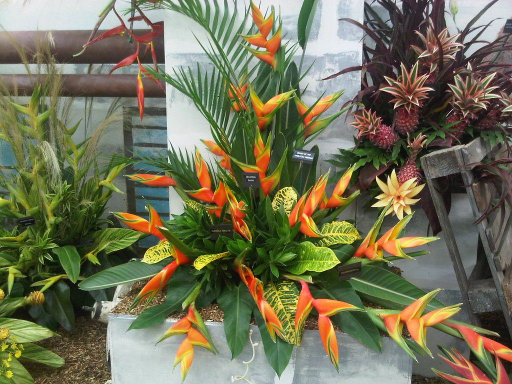 Heliconia bihai Lobster Claw, leaves of the Strelitzia reg… | Flickr