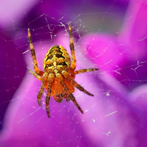 Araign e du jardin spider in the garden d700 nikkor 105 flickr - Araignee des jardins en 6 lettres ...