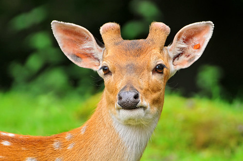 Portrait of a young deer | by Tambako the Jaguar