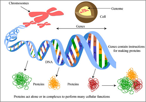 Geic Encoding of Proteins   Genes contain instructions