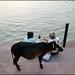 men and cow - Rishikesh