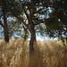 Coast Live Oak along Condor Gulch Trail - Pinnacles National Park, CA
