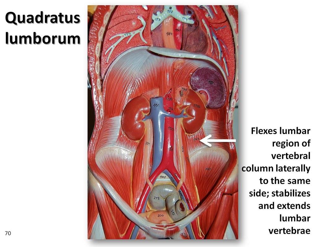 Quadratus lumborum - Muscles of the Upper Extremity Visual Atlas, page ...