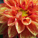 Miniature dahlia flower #1