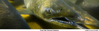 Tule Fall Chinook Salmon | by USFWS Pacific