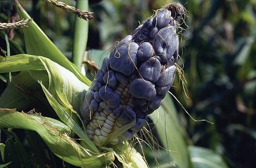 Common smut on maize | by CIMMYT