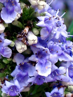 Vitex Close-Up | by M.P.N.texan