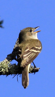 Alder Flycatcher | by Laura Erickson