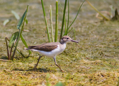 Spotted Sandpiper (juvenile) | by Phil Armishaw