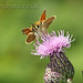 Small Skipper Butterfly Photo