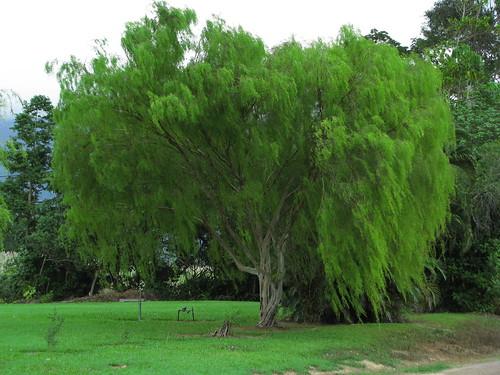 Leptospermum madidum weeping tea tree common garden for Trees garden of jane delawney blogspot