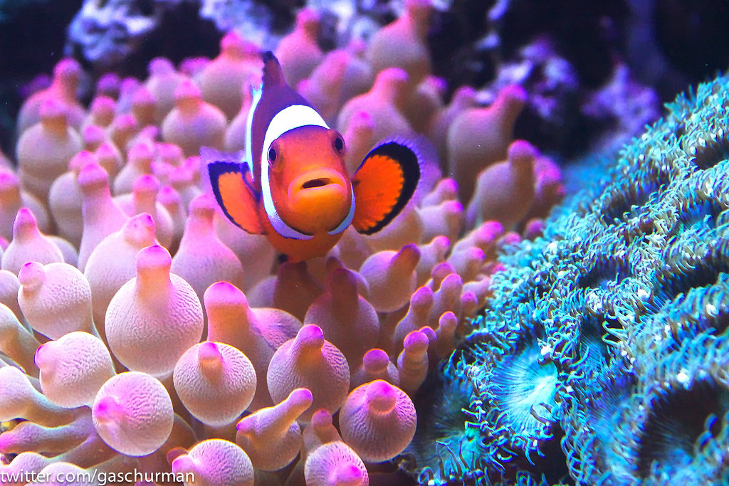 Clownfish in rose bubble tip anemone gus schur flickr for Clown fish care