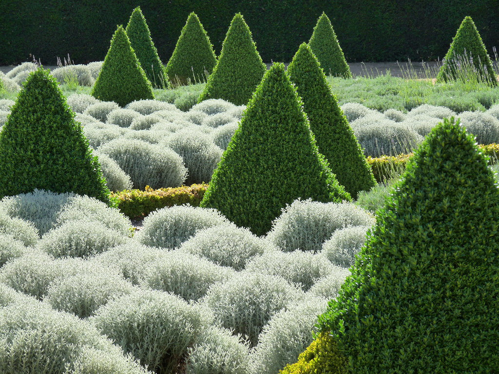 topiary cones and lavender bushes these yew trees