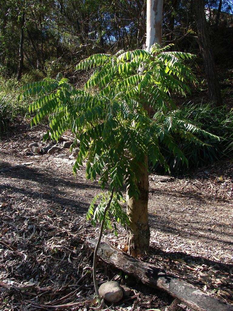 Curry Leaf tree | Murraya koenigii, syn. Bergera koenigii ...