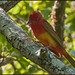 Summer Tanager - 1st Spring Male