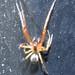 Theridiidae? Mimetidae? (ID please)