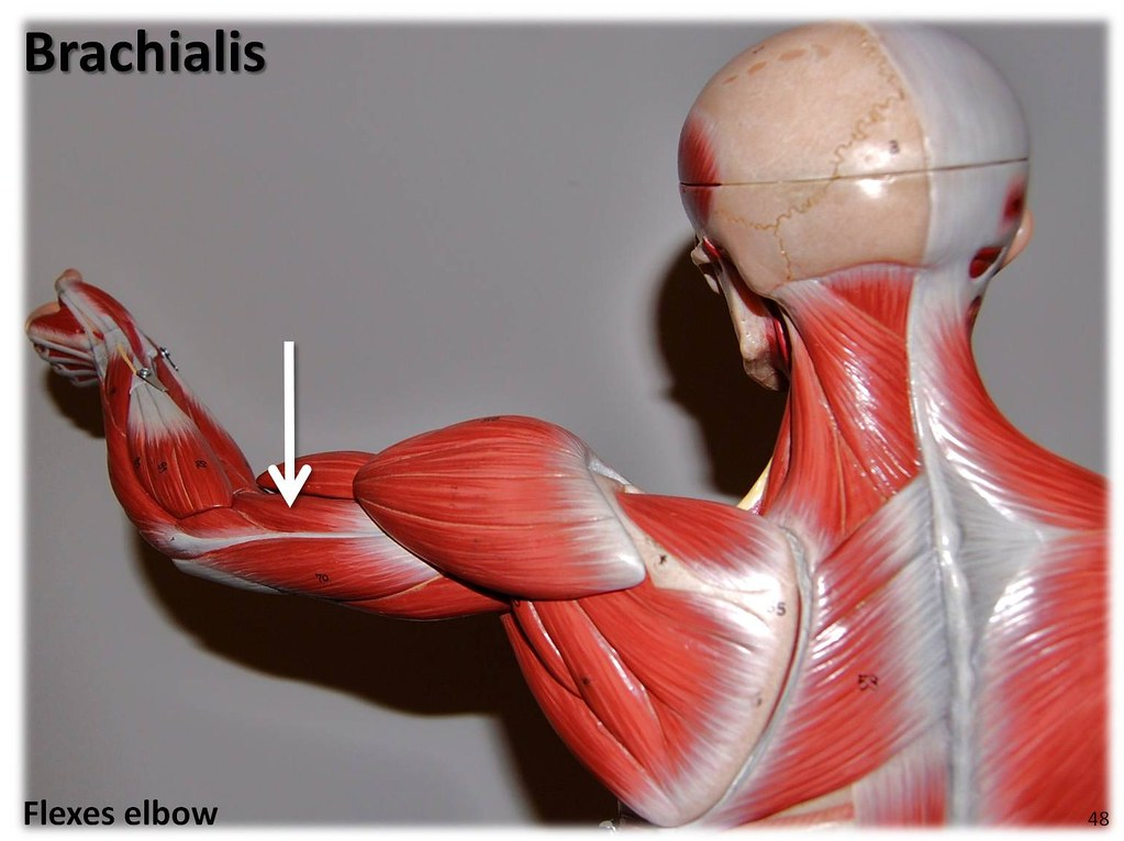 Brachialis - Muscles of the Upper Extremity Visual Atlas, … | Flickr