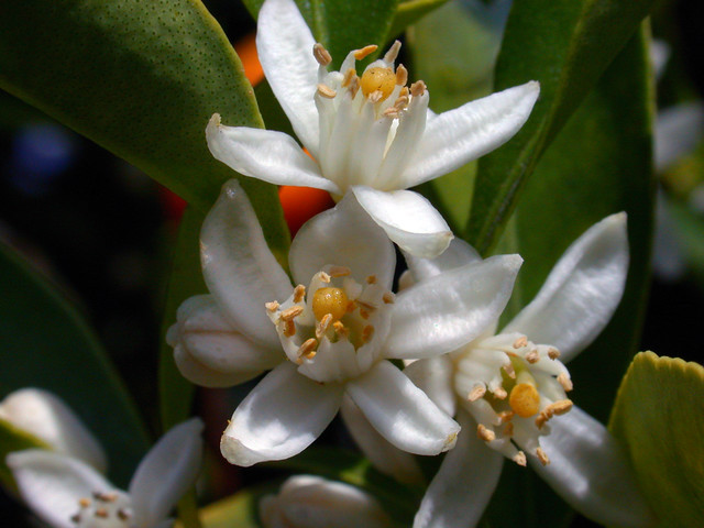 Kumquat Flowers Kumquat flowers - c95-8-01-