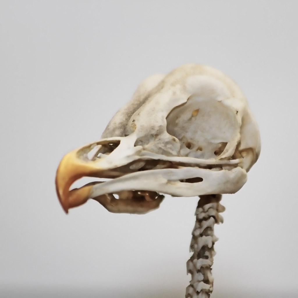 birdskull Avatar