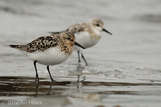 Sanderling pair | by Pat Ulrich
