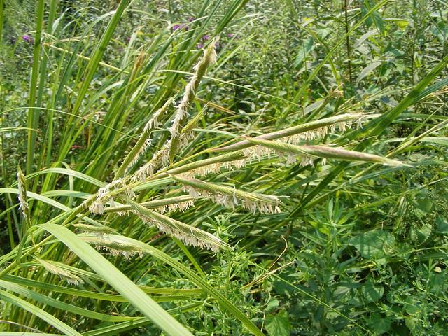 Prairie Cord Grass (Spartina pectinata)