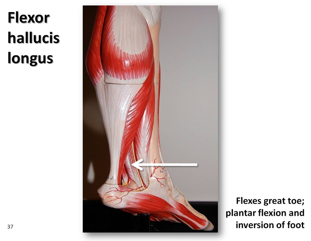 Flexor hallucis longus - Muscles of the Lower Extremity An… | Flickr