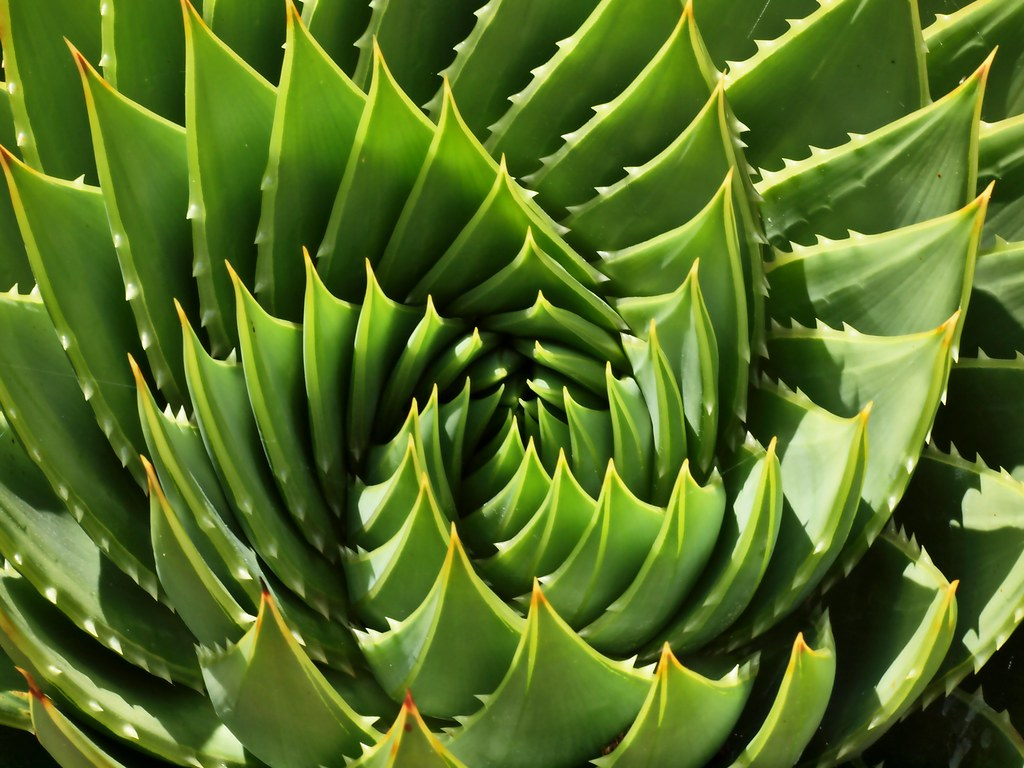Spiral Aloe There S Probably A Fibonacci Sequence In There Flickr