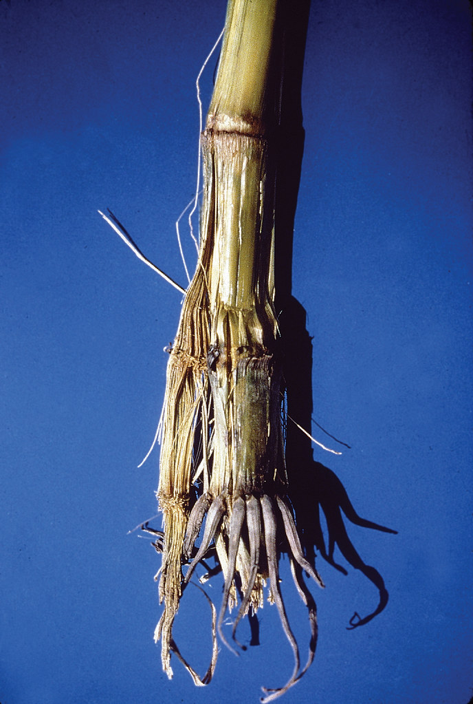 Get Free Credit Report >> Bacterial stalk rot in maize   Maize stalk showing ...