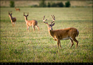 Four Bucks - Cade's Cove Wildlife Photography | by Dave Allen Photography