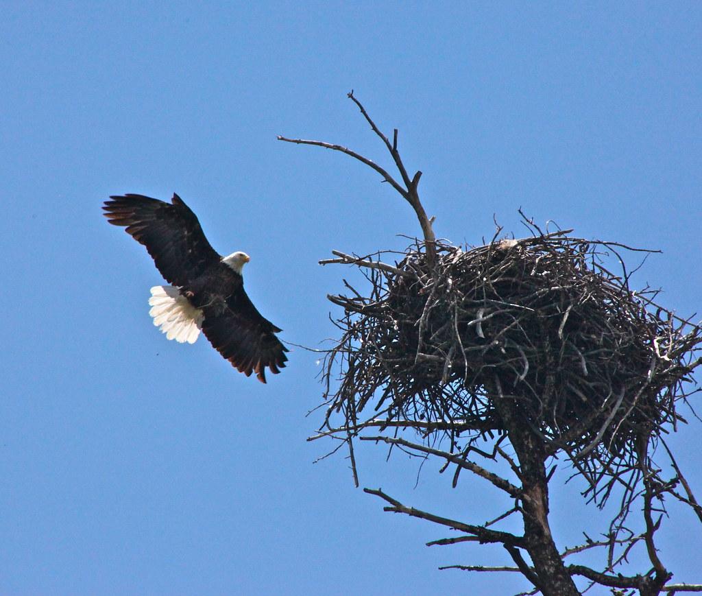 Bald Eagle Nest I Am Impressed With The Sizeable Nest