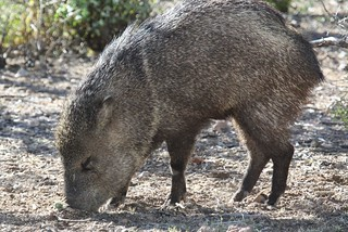 Javelina Attempts Cholla Removal 2 | by Erin and Lance Adventures