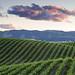 The Green Sea: Dunnigan Hills, California