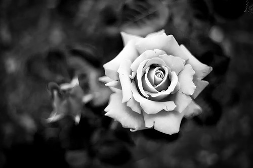 Roses are... | by Pierre Pocs