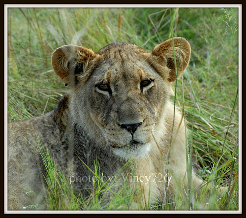 Lioness | by vincy726