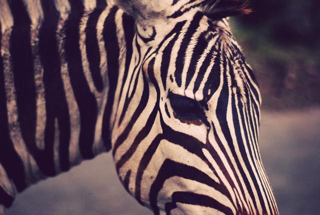 Zebra face profile - photo#16